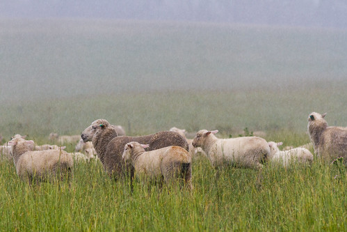 The sheep seem undisturbed by the drizzle