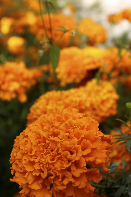 Carnation Flower Significance Orange Carnations | Flickr - Photo Sharing!