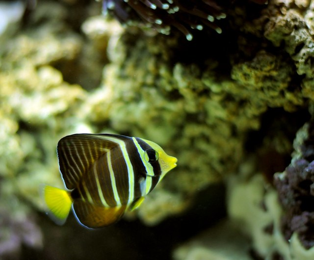 yellow black striped fish in salt water tank   Flickr   Photo Sharing!
