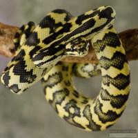 Jungle/Jaguar Sibling Carpet Python   Flickr - Photo Sharing!