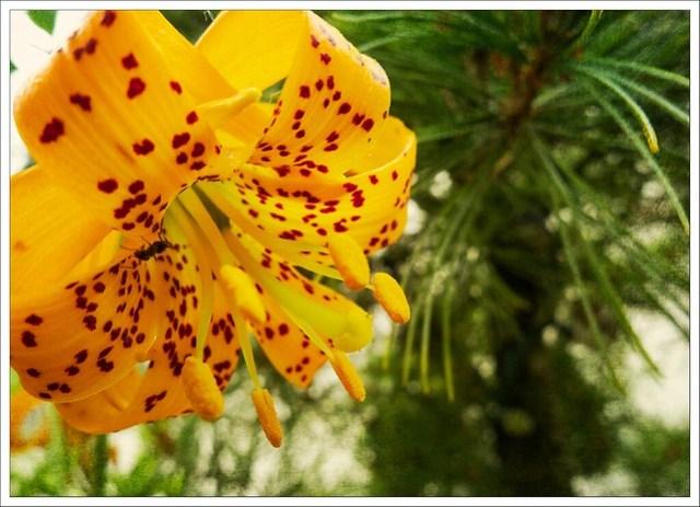 (171/366) Wild Tiger Lily (Lillium columbianum)