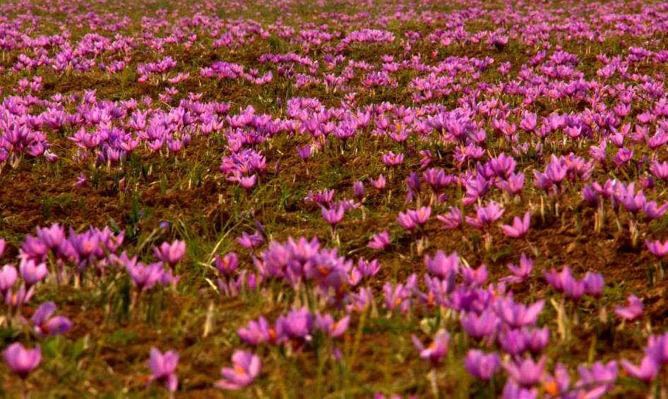 sea of pink saffron flowers in pampore