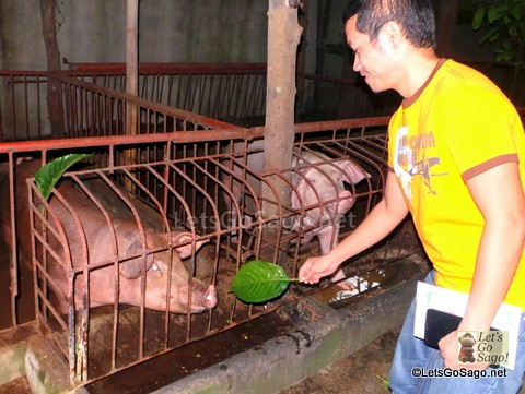 Odor-free Organic Pigs