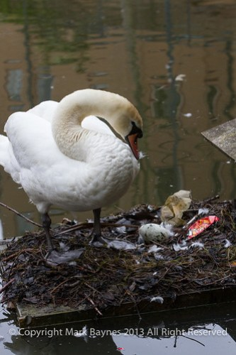 Swan on nest with egg, Wapping Canal