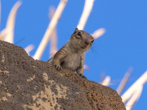 Barbary Ground Squirrel / Atlashörnchen (Atlantoxerus getulus)