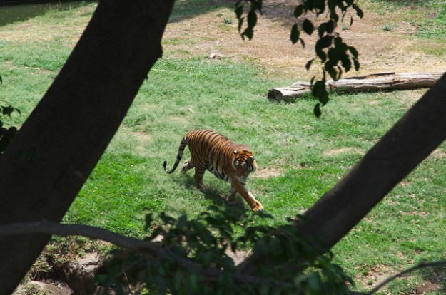 Tiger at the zoo