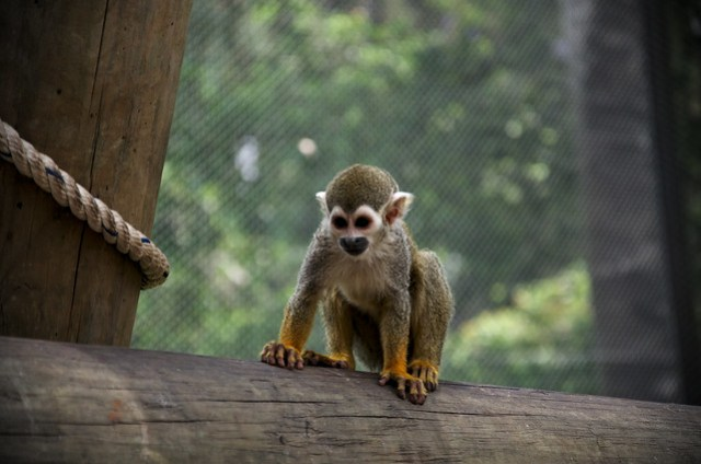 Handsome titi monkey