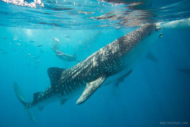 Oslob Whale Shark Watching | Cebu City Tour