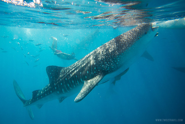 Oslob Whale Shark Watching | Cebu City Tour