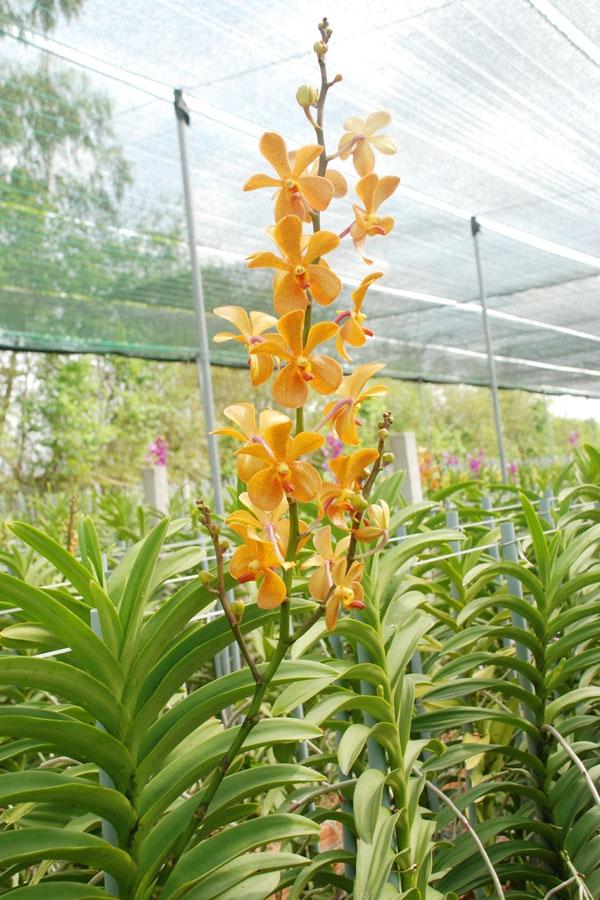 Hình ảnh một số loại lan mokara trồng phổ biến ở Việt Nam
