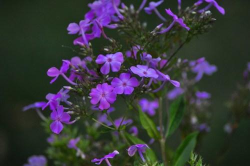 Purple 12