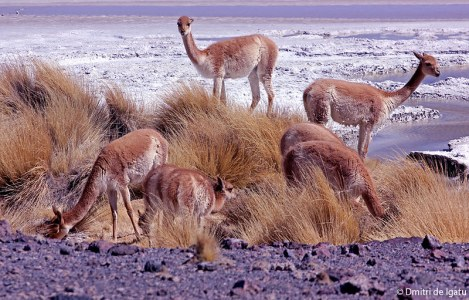 Vicuñas, Salar de Uyuni