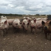 A Happy Pig is a Good Pig: What Free Range Really Means