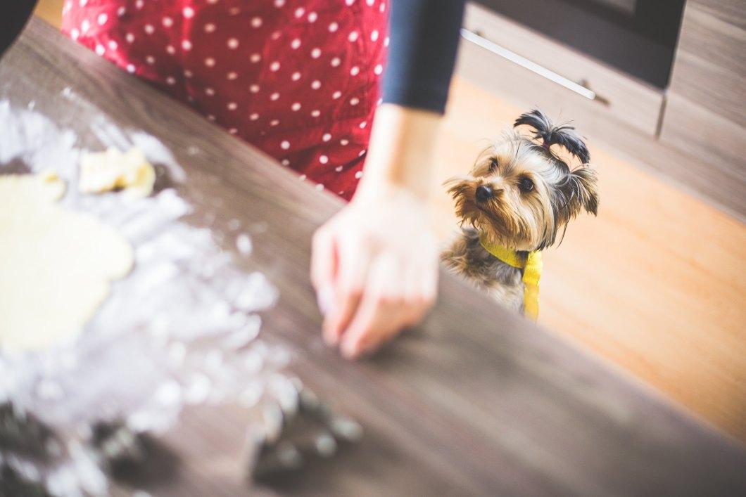 Imagen gratis de un perro yorkshire