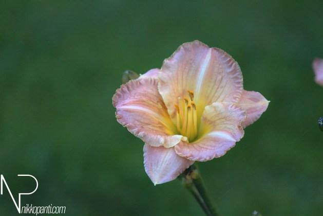 Flowers Nikko Panti Misterbaks 2
