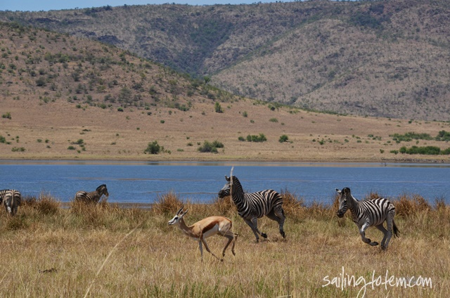 zebras and springbok