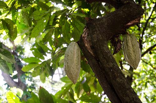 Cacao plant
