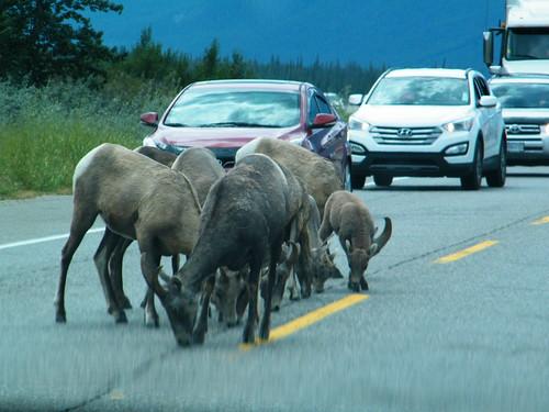 Traffic Jam Culprits in Jasper