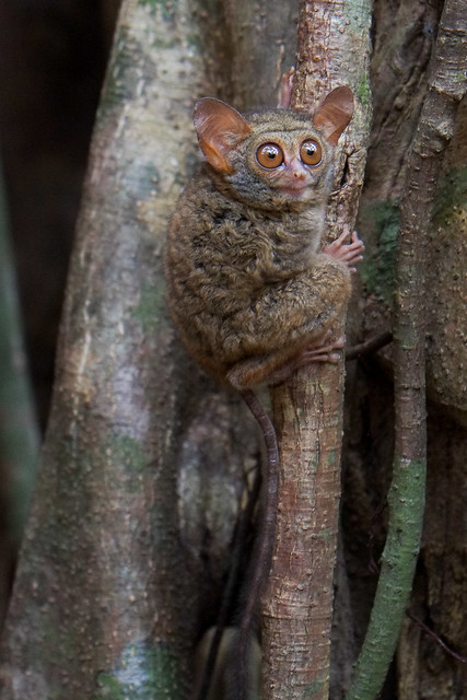 Tarsier. Tangkoko Reserve, North Sulawesi