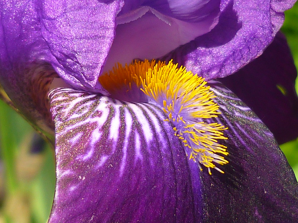 Lila Gartenblume The World S Best Photos Of Iris And Lila Flickr Hive Mind