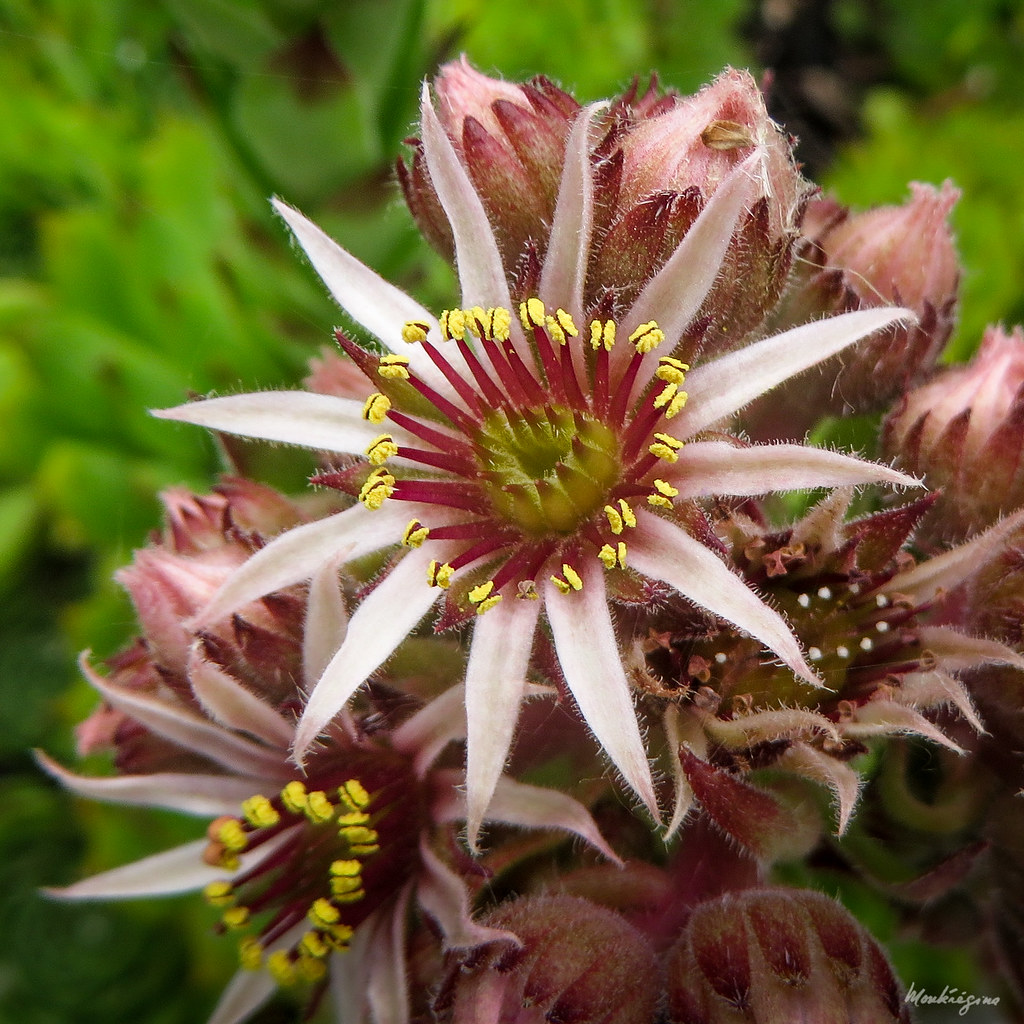 The World 39 S Best Photos Of Sempervivum And Succulent - Steingartenpflanze