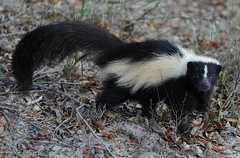 Skunk Encounter