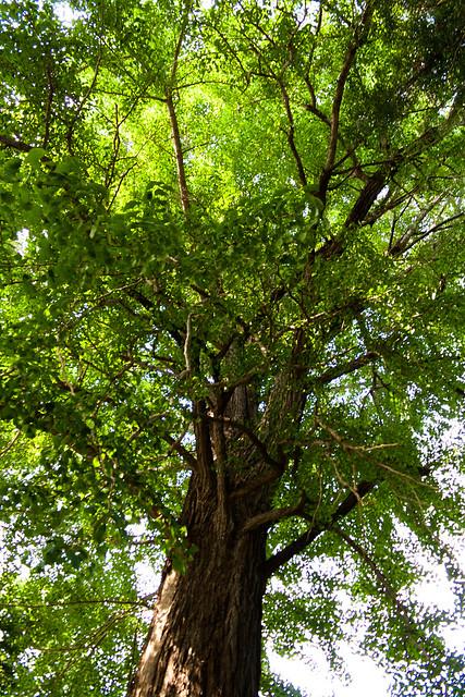 The Giant Trees of Tochigi: #82 The Giant Ginkgo of Togakushi Shrine