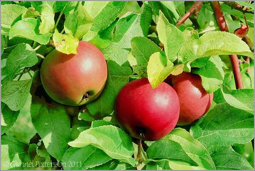 110804 Mio apples from my garden