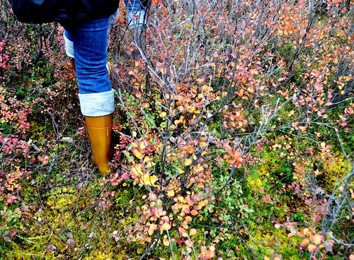 Picking Blueberries in Denali National Park, Aug. 2011