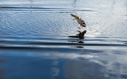Duck landing, Birmingham-Worcester Canal • <a style=&quot;font-size:0.8em;&quot; href=&quot;http://www.flickr.com/photos/69544236@N04/6996391233/&quot; target=&quot;_blank&quot; data-recalc-dims=