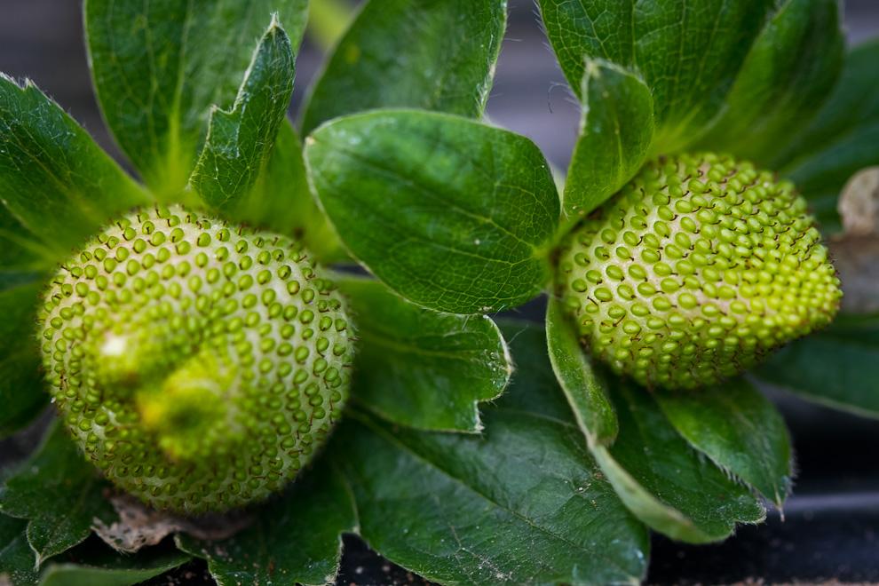 La textura, colores y detalles de los frutos de fresa, aún verdes, pueden ser observados en esta fotografía macro. (Tetsu Espósito)