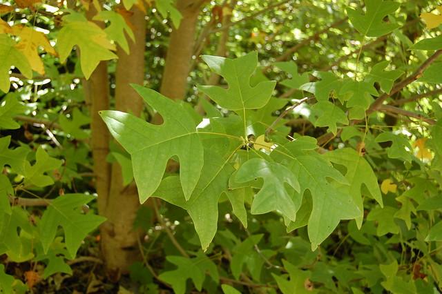Liriodendron chinense - Chinese Tulip Tree
