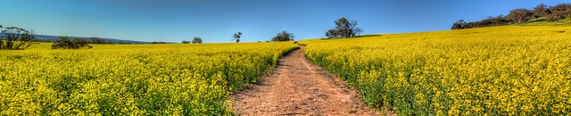 Canola Fields, Toodyay