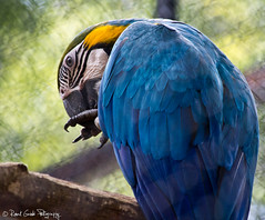 "A blue Macaw • <a style=""font-size:0.8em;"" href=""http://www.flickr.com/photos/41711332@N00/6353411305/"" target=""_blank"">View on Flickr</a>"