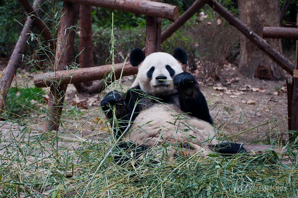 Giant_Panda_eating_Chengdu_Sichuan_China4
