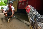 Staredown Before The Battle Sabung Ayam Near Padangbai