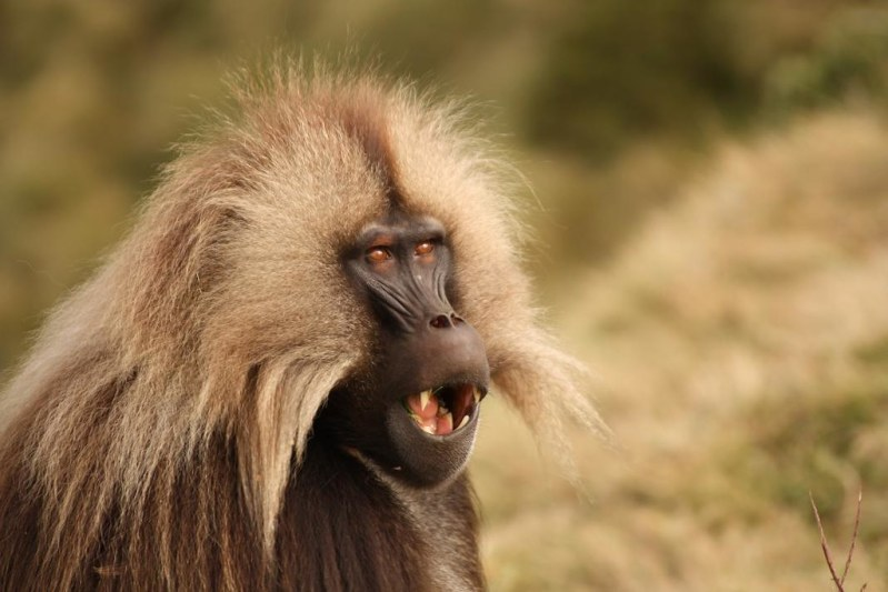 Male gelada in the Simeon Mountains (2)