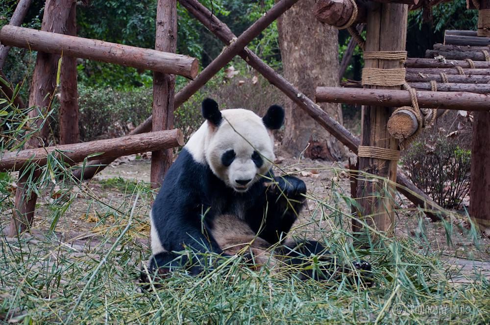 Giant_Panda_eating_Chengdu_Sichuan_China