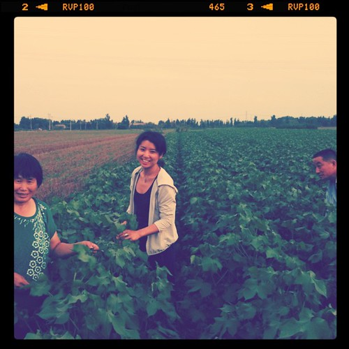 Pruning cotton in village with farmers  , china