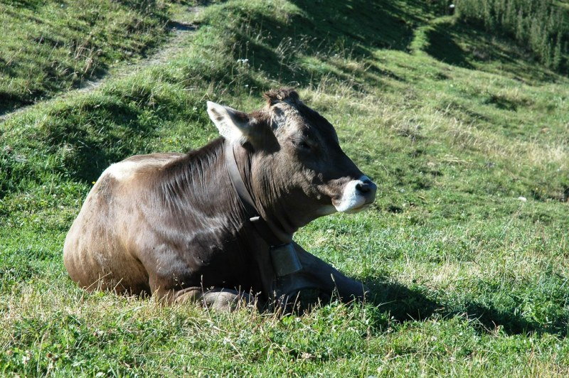 Hiking: A cow resting on the mountain side in Oetztal in the Austrian region of Tyrol.