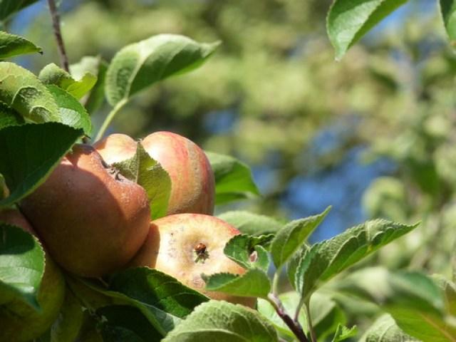 Calke Abbey garden - apples