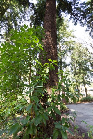 Young madrone with Douglas fir