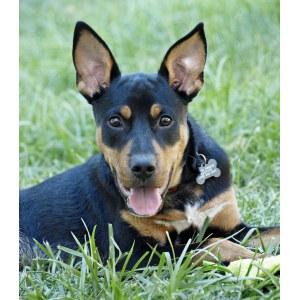 Sleek Ears Doberman Husky Mix Size Doberman Husky Mix Sale Doberman Rescue Dog Doberman Mix Puppy My Name Is Duke Most Recently Posted Photos