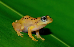 """Raorchestes-manohari- • <a style=""""font-size:0.8em;"""" href=""""http://www.flickr.com/photos/109145777@N03/13910111616/"""" target=""""_blank"""">View on Flickr</a>"""