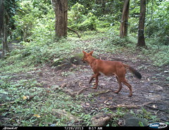 """wild dog - Camera trap picture from Shendurney Widlife Sanctuary • <a style=""""font-size:0.8em;"""" href=""""http://www.flickr.com/photos/109145777@N03/13794521783/"""" target=""""_blank"""">View on Flickr</a>"""