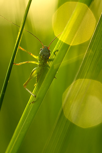 "grasshopper in the backlight • <a style=""font-size:0.8em;"" href=""http://www.flickr.com/photos/22289452@N07/8984137833/"" target=""_blank"">View on Flickr</a>"