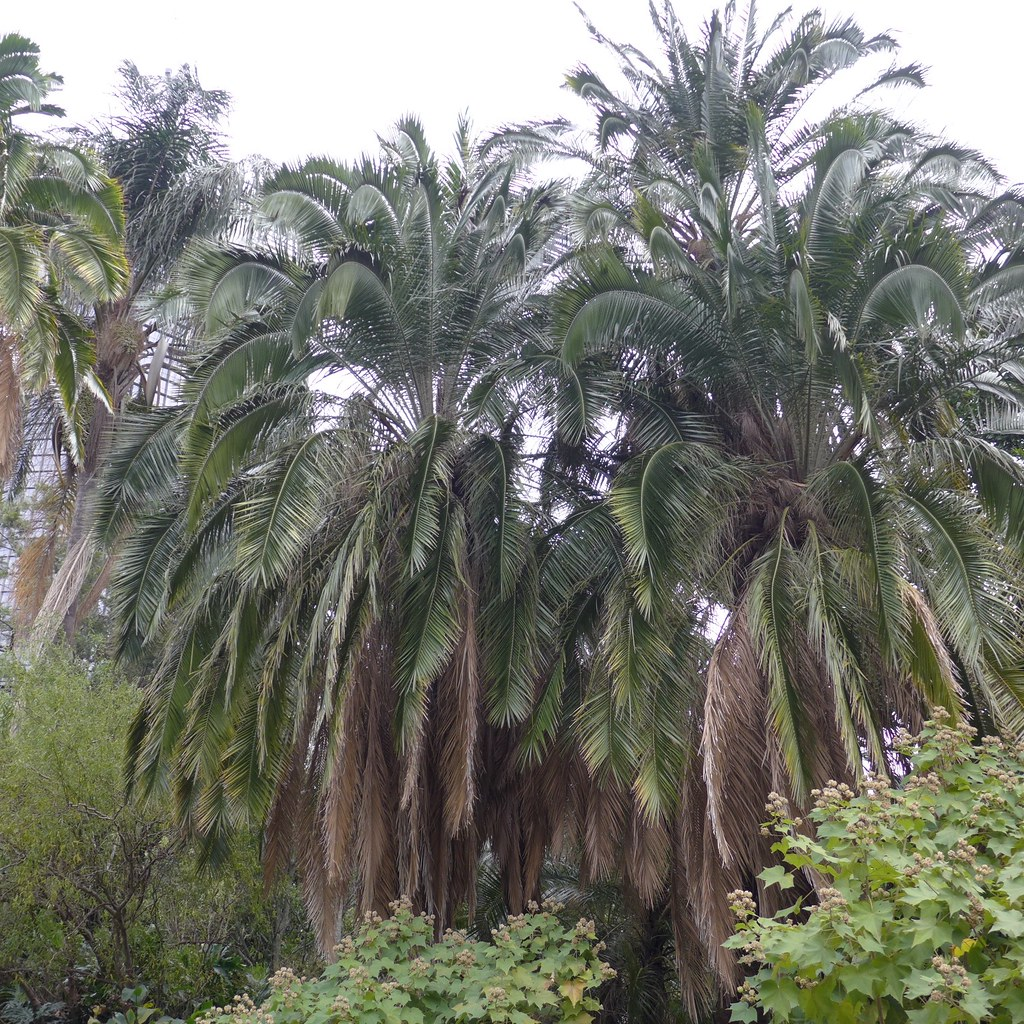 Areca Palm Australia The World 39s Best Photos Of Arecaceae And Clumping Flickr