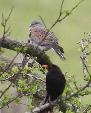 """Turtle Dove, Rame, 07.05.16 (C.Buckland) • <a style=""""font-size:0.8em;"""" href=""""http://www.flickr.com/photos/30837261@N07/26814965812/"""" target=""""_blank"""">View on Flickr</a>"""
