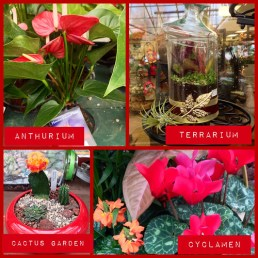 Holiday Plants - Lafayette Florist & Greenhouses in Lafayette, Colo.
