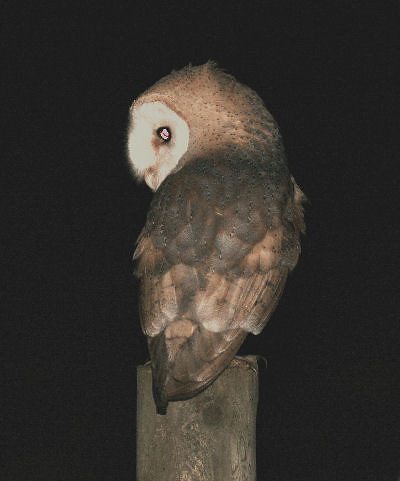 "Barn Owl • <a style=""font-size:0.8em;"" href=""http://www.flickr.com/photos/30837261@N07/10722970385/"" target=""_blank"">View on Flickr</a>"